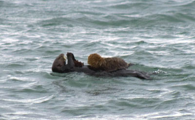 Sea otter with her pup